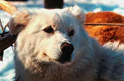 Kamchatka dog-sledding.